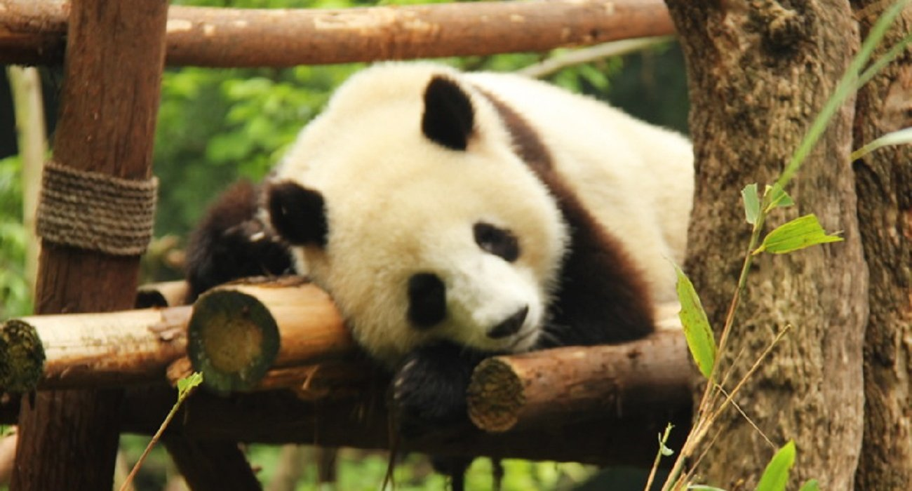 China In Pursuit of Pandas - Image 1