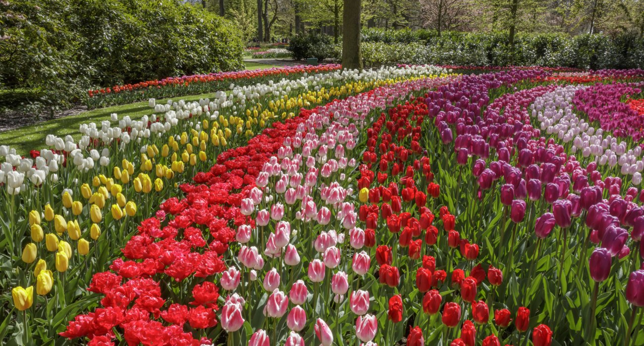 Amsterdam and the Glorious Dutch Bulb Fields - Image 4