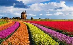 Amsterdam and the Glorious Dutch Bulb Fields - Image 2